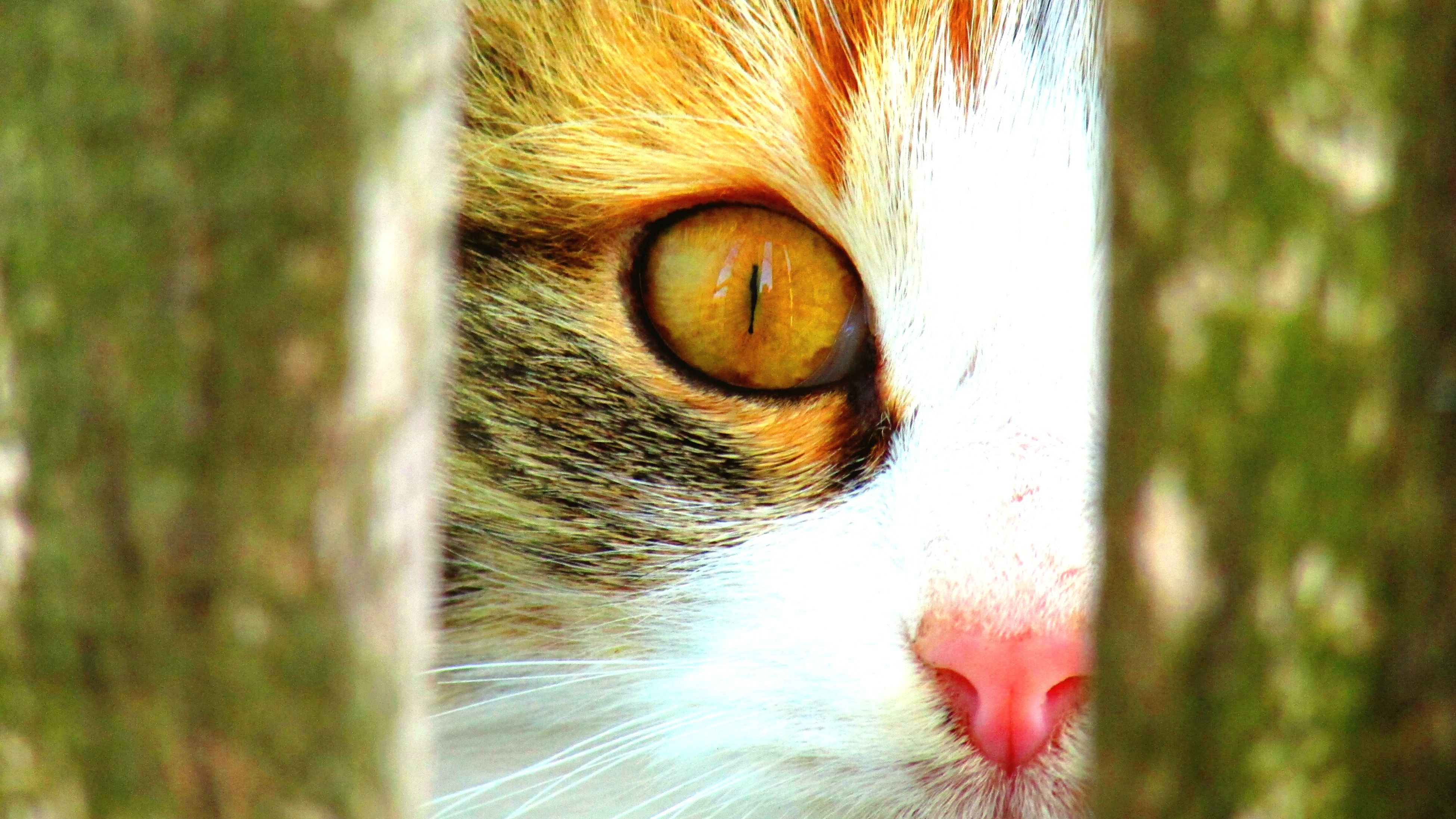 pets, domestic animals, one animal, domestic cat, animal themes, mammal, close-up, feline, whisker, no people, animal eye, day, nature, outdoors