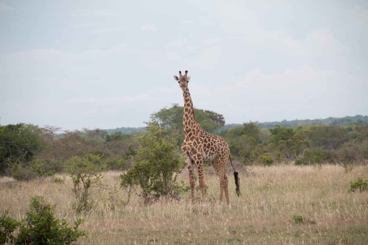 Observant Giraffe in Saadani National Park Animal Themes Animal Wildlife Animals In The Wild Clear Sky Summer Day Day Giraffes Mammal Nature No People Outdoors Savanna Tanzania Tranquillity Trees