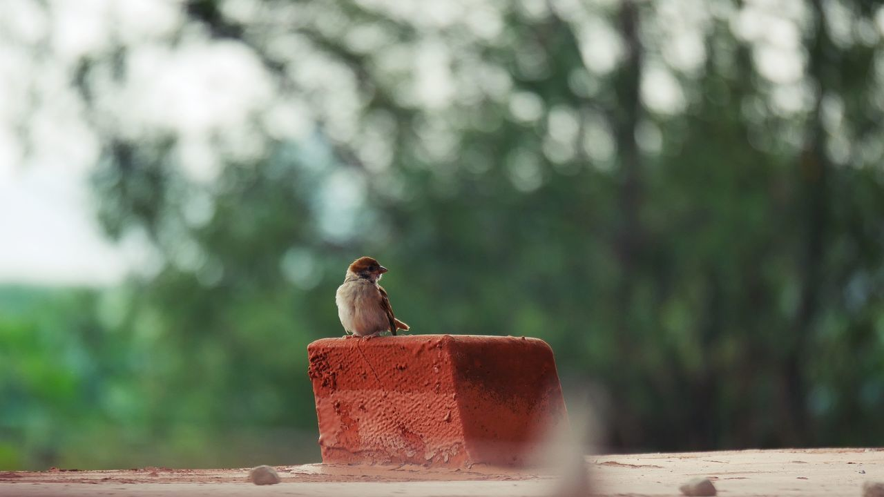 bird, day, focus on foreground, perching, no people, outdoors, one animal, animal themes, tree, animals in the wild, nature, retaining wall, sparrow, mourning dove