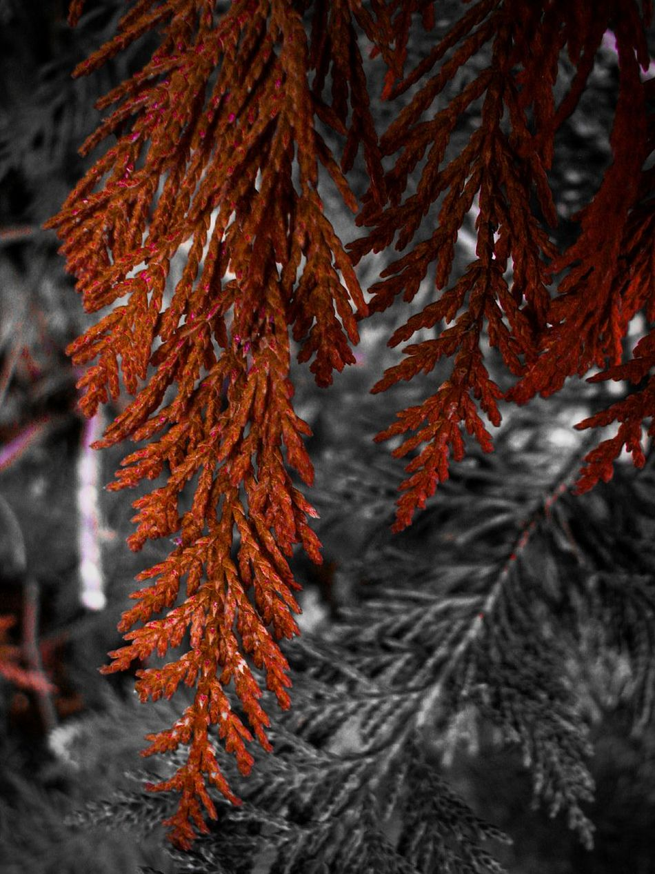 Carmine Carmine Filter Cedar Cedars Red Leaf Nature Beauty In Nature Branch Close-up Tree Cedar Branch Focus On Foreground Needle - Plant Part Garden Garden Photography Growth Red Cedar Tree Branches Welcome To Black
