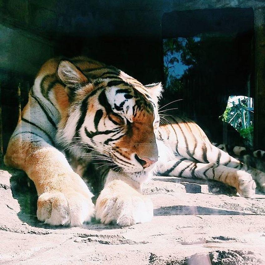 Buschgardenstampa Buschgardens Florida Sunshinestate LoveFl Animalphotography Animalsofinstagram Tiger Beautiful