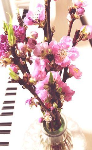 Flower Fragility Freshness Flower Head ひなまつり もうひなまつりも終わり。