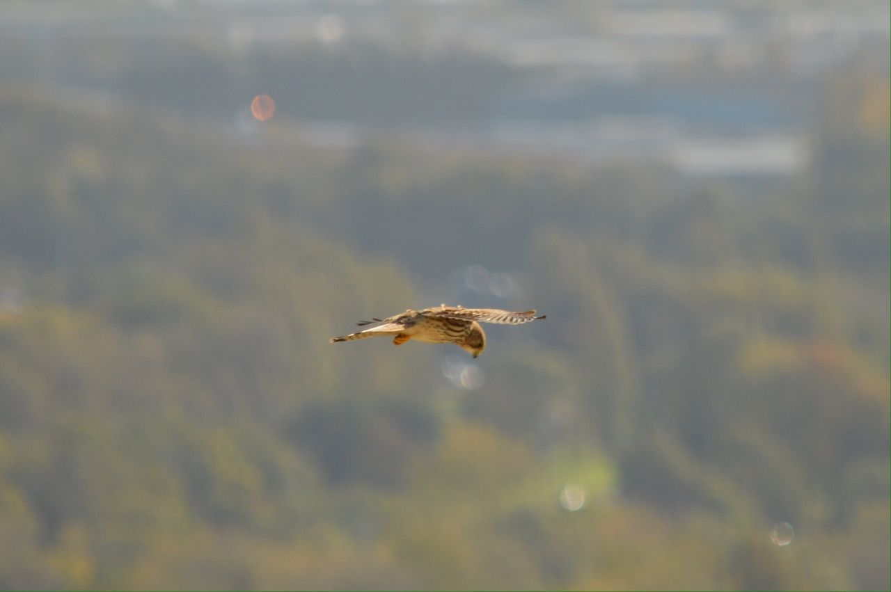 Beautiful stock photos of hawks, Animal Themes, Animals In The Wild, Bird, Bird Of Prey