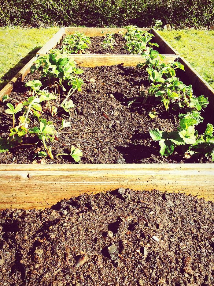 Strawberries New Soil Manure Worth Waiting For
