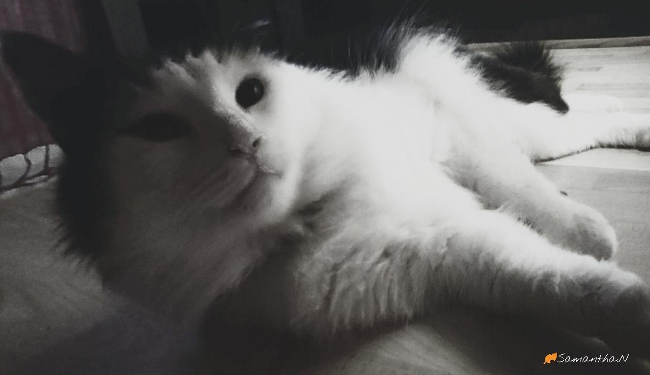 Blackandwhitephoto Blackandwhitecat Lotsofanimallove Notmine Fluffy Cat Bigeyes. Animal_collection