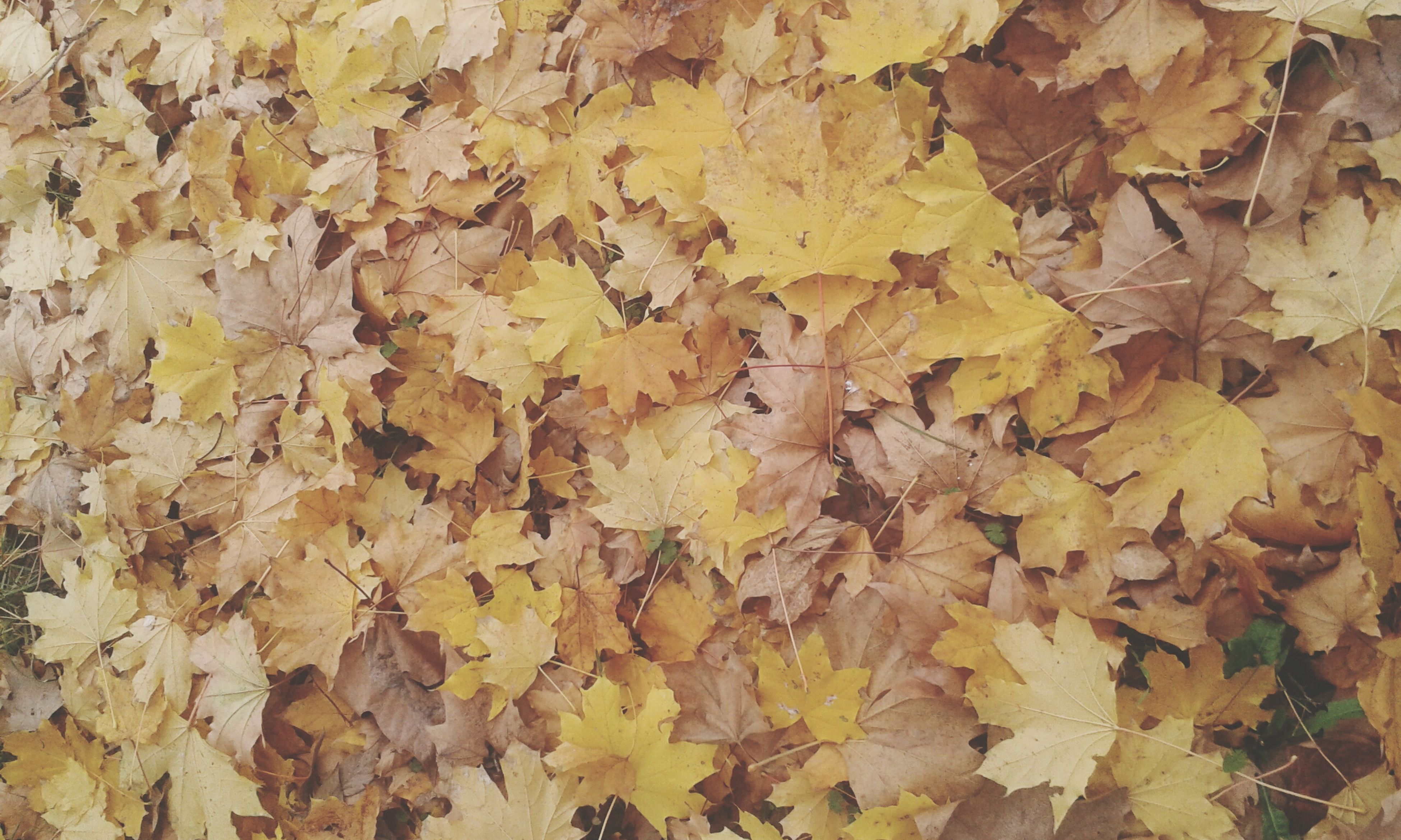 autumn, full frame, backgrounds, change, leaf, season, abundance, dry, leaves, textured, yellow, nature, fallen, high angle view, day, close-up, natural pattern, large group of objects, no people, outdoors