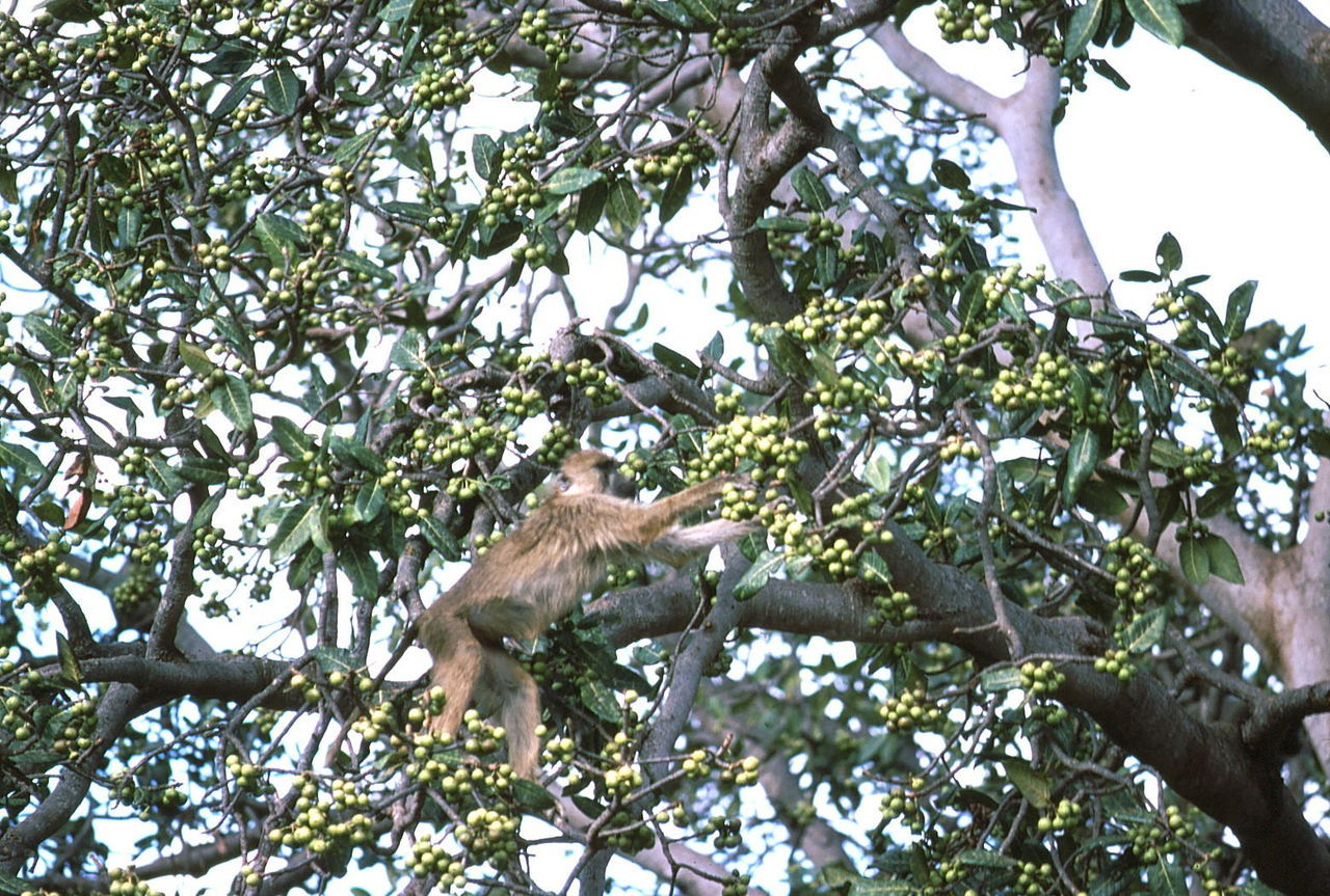 Monkey Feeding in the Tree Animal Wildlife Animals In The Wild Branches Close Up Composition Famous Place Fruits Full Frame In The Wild Kenya Low Angle View Monkey Monkey Feeding Self Nairobi Nairobi National Park Nature No People One Animal Outdoor Photography Primate Sunlight And Shade Tourist Attraction  Tourist Destination Tree