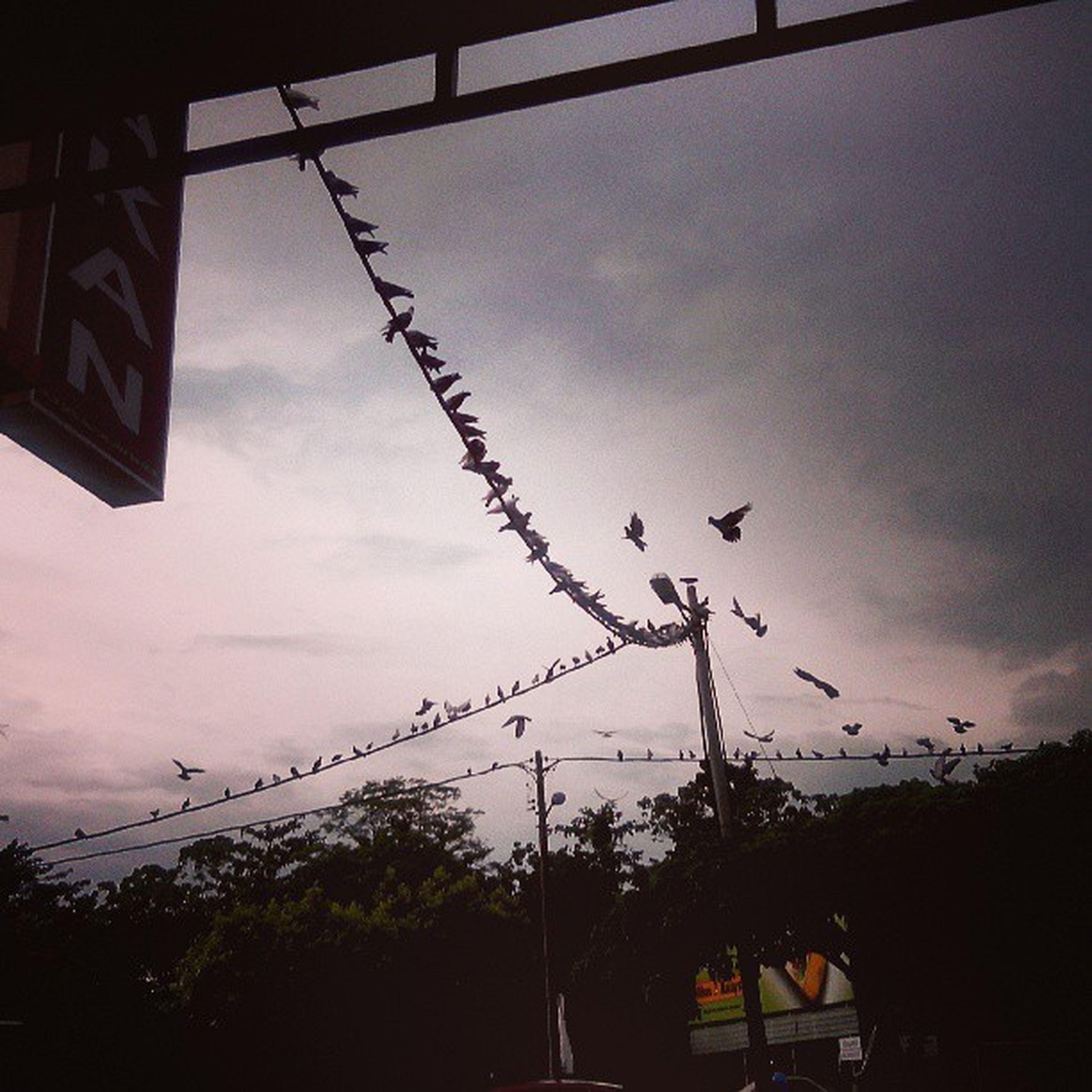 Pigeons Bihunsup Sakan Kamunting
