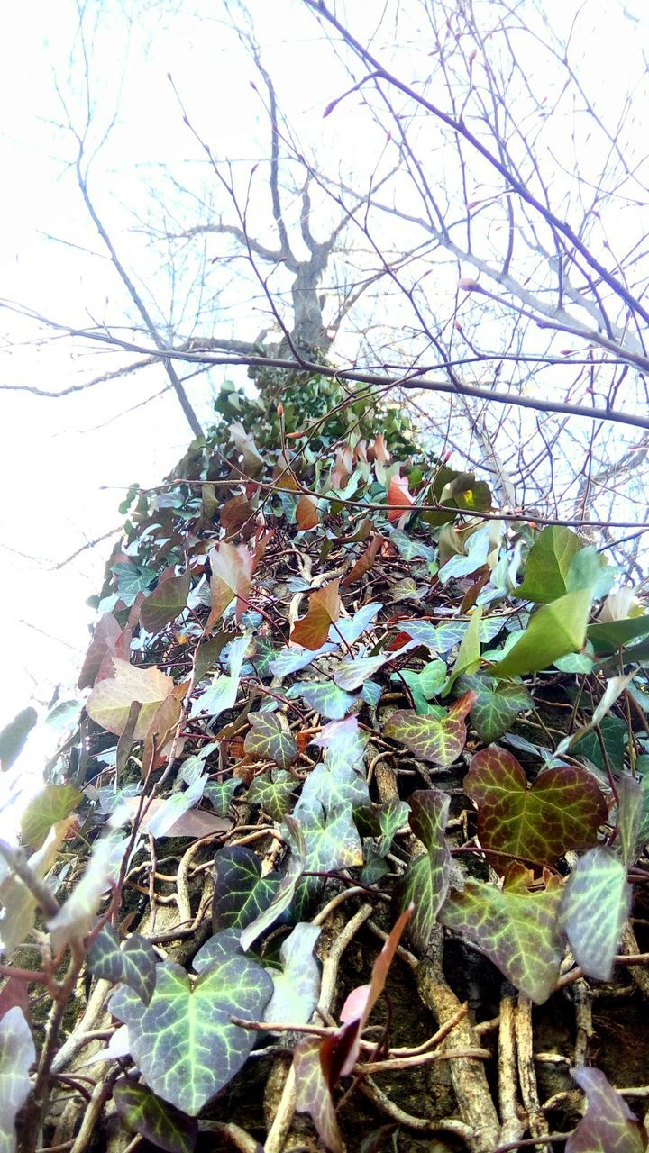 growth, nature, leaf, day, branch, low angle view, outdoors, plant, no people, beauty in nature, tree, autumn, close-up, cold temperature, food, freshness, sky