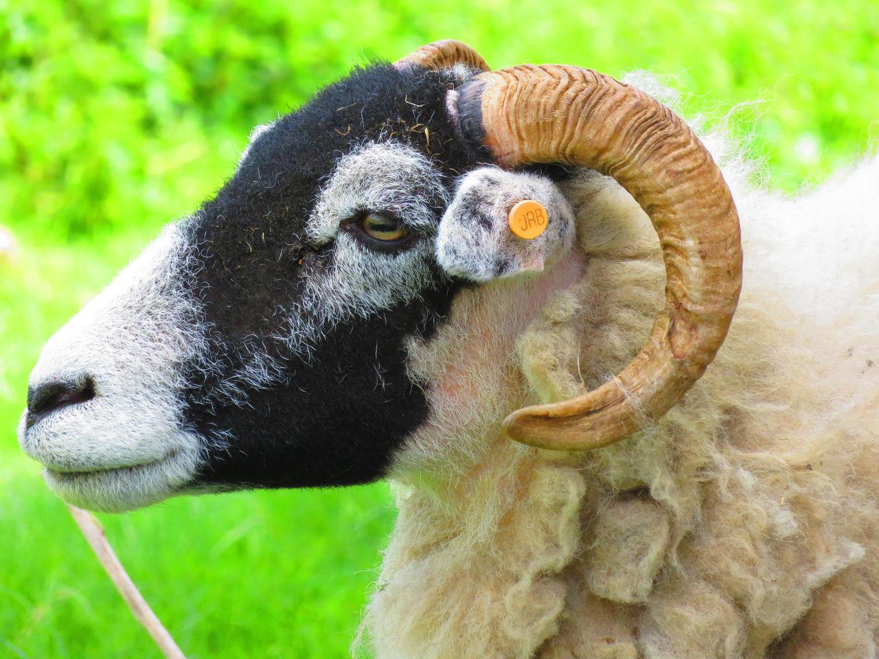 Grassington Livestock Sheep Sheep Farm Sheep Meadow Sheeps Sheep🐑 Sheep Ranch Animal Photography Farm Life Sheep And Lambs Farm Animal Close Up Farm Animal EyeEm Animal Lover Farm Animals Sheepfarm Sheep Grazing Farmanimals EyeEm Best Shots EyeEmBestPics Animal Head  Yorkshire Dales Yorkshire Yorkshiredales Yorkshire Countryside