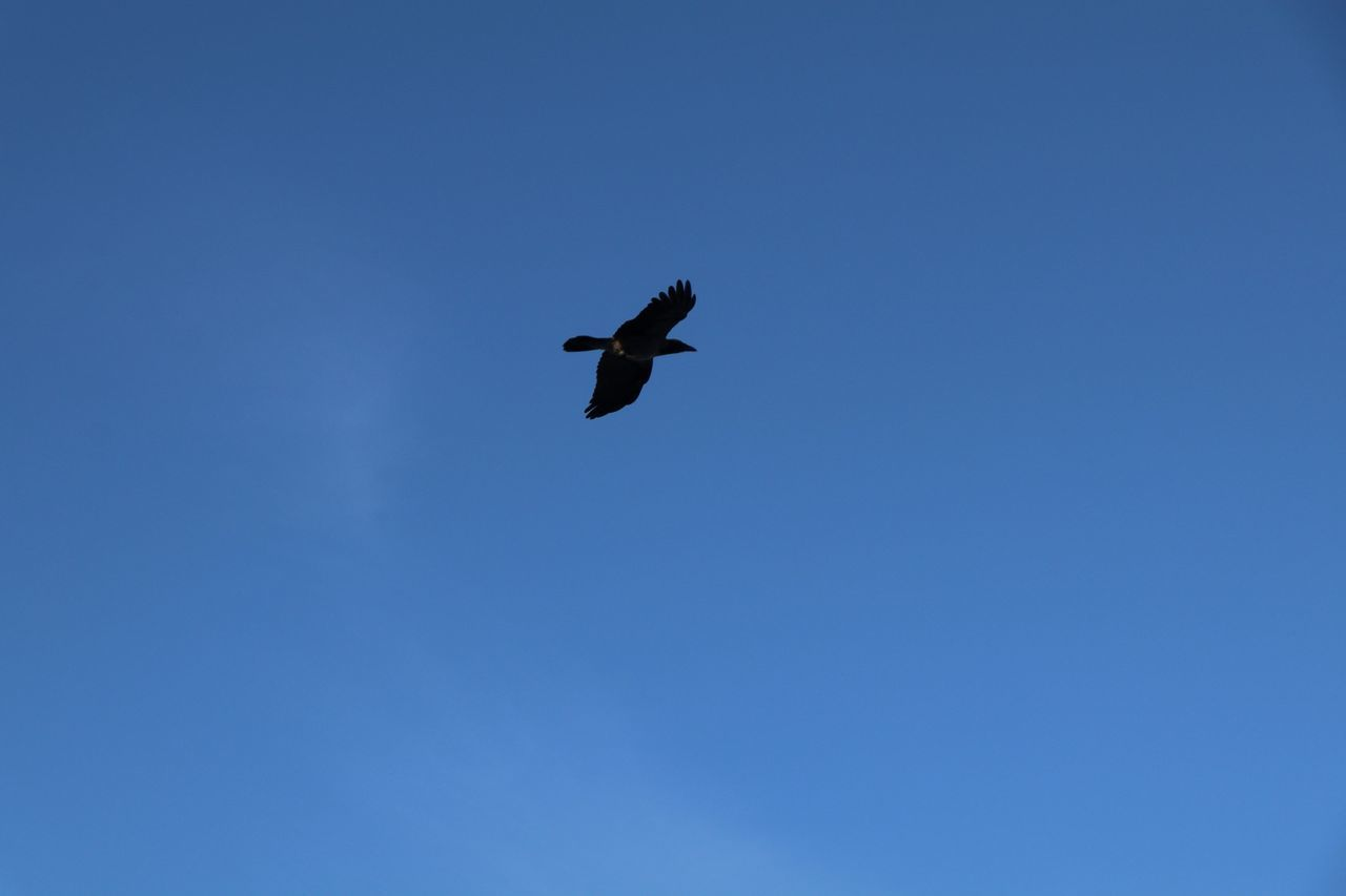 flying, bird, low angle view, animals in the wild, copy space, blue, clear sky, one animal, animal themes, spread wings, nature, mid-air, no people, outdoors, day, beauty in nature, sky, bird of prey