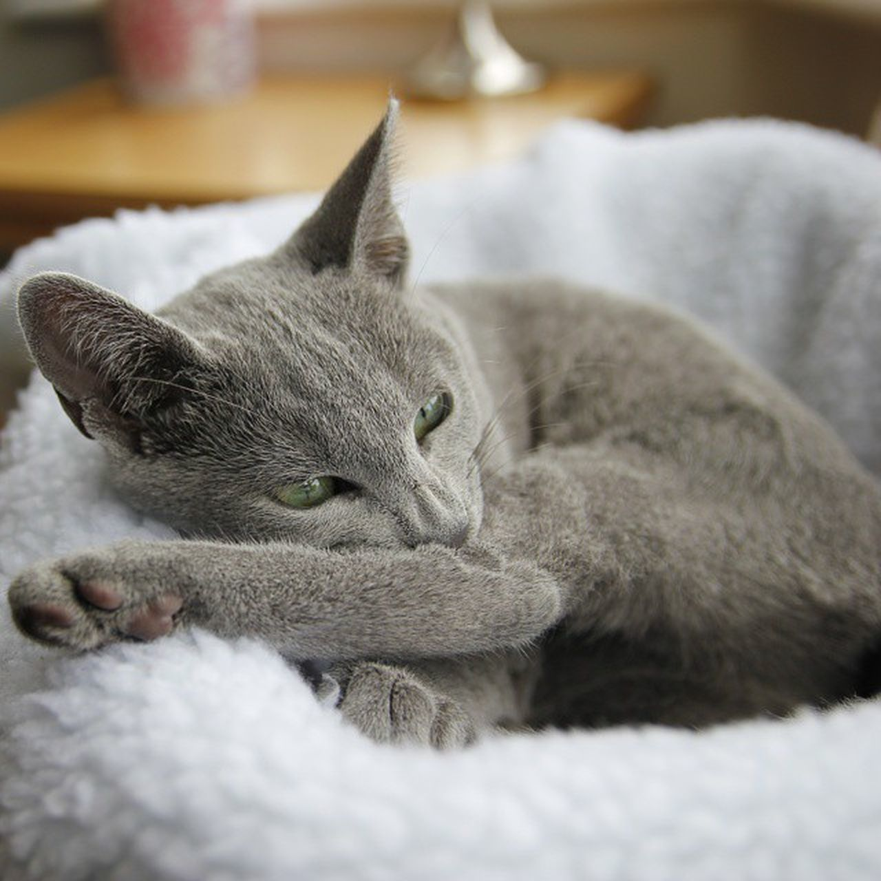 Afternoon grooming session 😺 Catsofinstagram Kittensofinstagram Russianbluesofinstagram Russianbluekitten RussianBlue Russianbluecat Smartcat Instacat Instakitty Kittens Greycat Silvercat Bluecat Blue Cat_features ロシアンブルー Propetsfeature Rosyjskiniebieski Nofilter Catsmosh Nofilter 550d