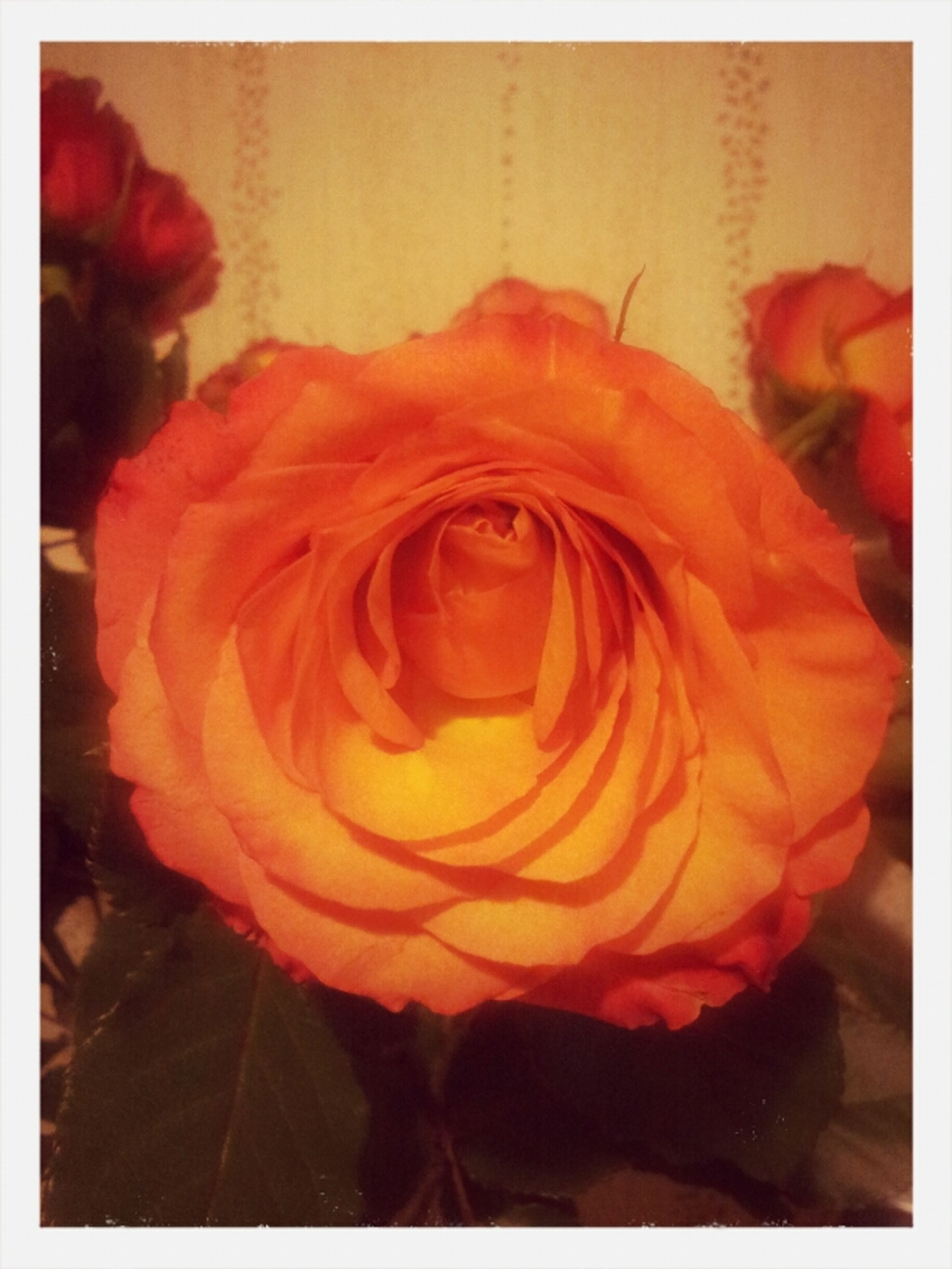 transfer print, flower, auto post production filter, petal, flower head, rose - flower, close-up, fragility, freshness, red, beauty in nature, single flower, indoors, orange color, nature, rose, no people, focus on foreground, blooming, growth
