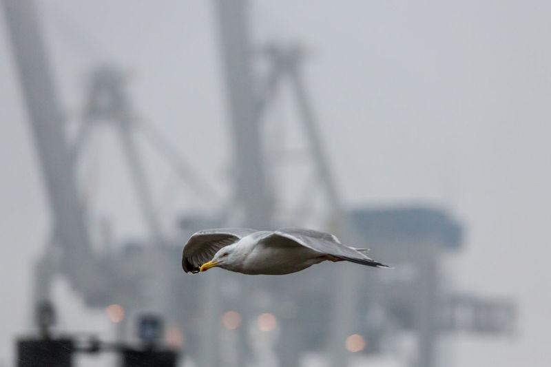 Lariform Birds Animal Themes Animals Bird Flying Gulls In The Rain Sea Gull Wildlife