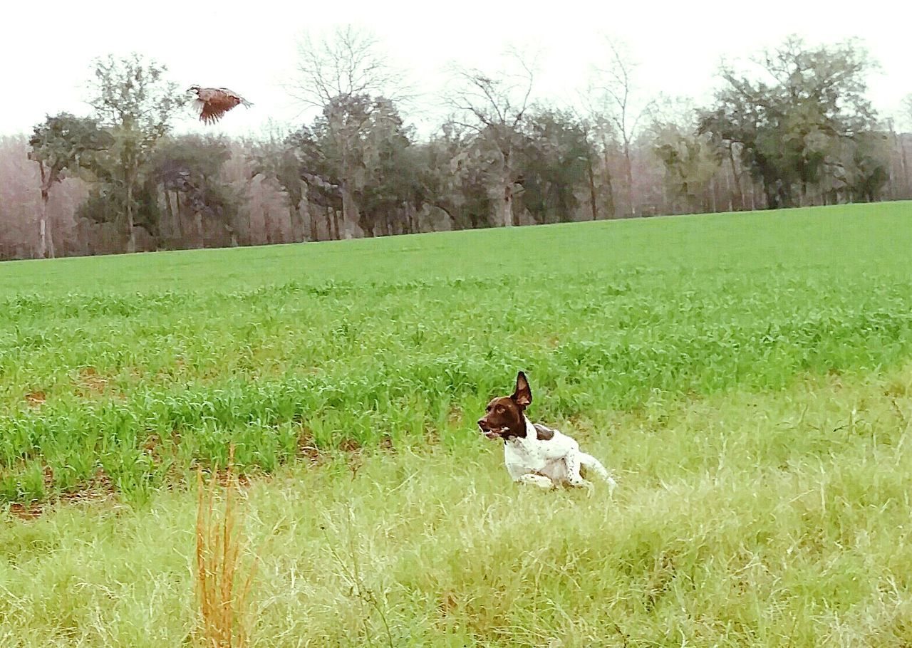 Florida Life Hunt Dogsofeyeem Pookie  German Shorthaired Pointer Birddog Quail Ocheesee Pond Dogslife Diduseethebird Lookupandleft Showcase:January Showcase: January Showcase: January Photography In Motion