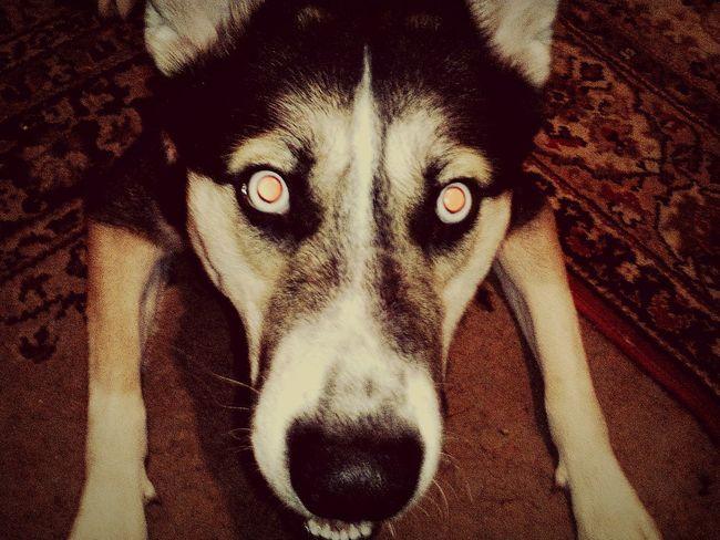 Hi! Kamchatka Dog Pets My Pets Cute Pets My Pets :)