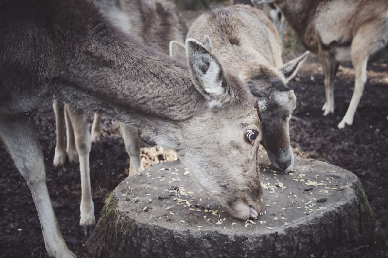 Animal Animal Themes Animals Animals In The Wild Animals In The Wild Beauty In Nature Close-up Deer Eating Food Forest Fur HEAD Hiking Mammal Nature Nature Outdoors Roe Deer Roé Tree Tree Trunk Trees Wild Wildlife