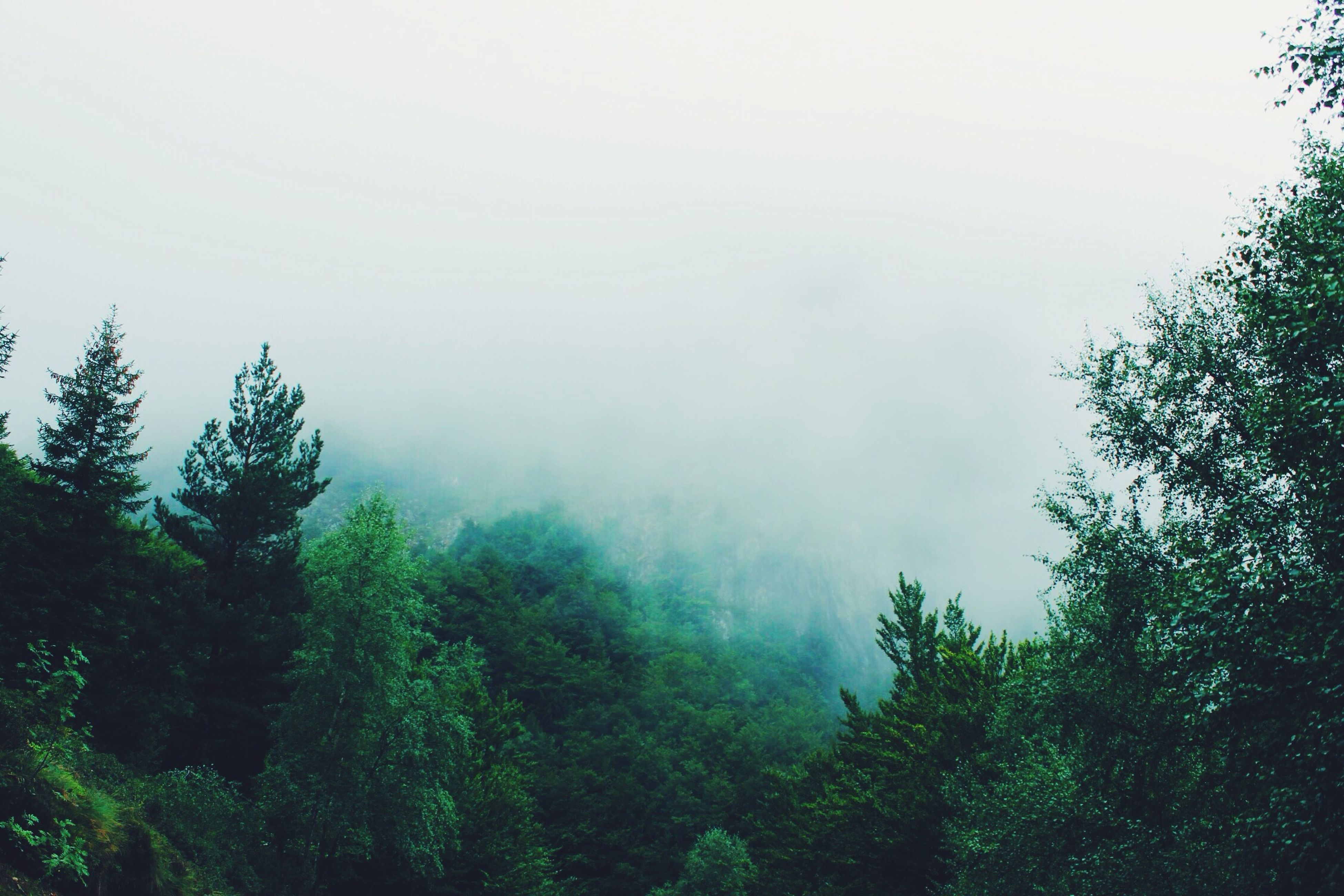 tree, fog, tranquility, tranquil scene, beauty in nature, scenics, foggy, growth, nature, sky, weather, forest, low angle view, idyllic, non-urban scene, copy space, green color, lush foliage, outdoors, day