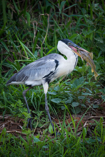 Animal Themes Animal Wildlife Animals In The Wild Bird Close-up Cocoi Heron Day Field Grass Gray Heron Heron Nature No People One Animal Outdoors Perching
