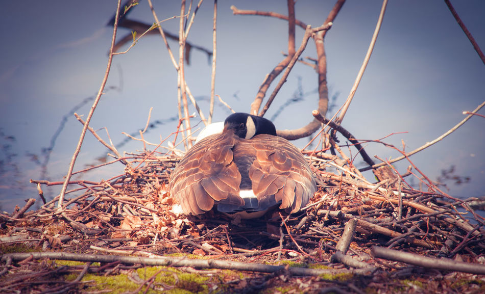 Goose Nest Animal Wildlife Animals In The Wild Animal Themes Outdoors Photograpghy  EyeEm Nature Lovers Beautiful Nature Outdoors Photograpghy  Nature Is Art My Artistic Style Nature Photography My Point Of View My Unique Style Nature Wildlife Photos Riverside Photography Bird Photography Wildlife Photography Birds Of EyeEm  Riverside Wildlife Animals In The Wild Bird Wildlife & Nature Tranquil Nature Scene Peaceful View