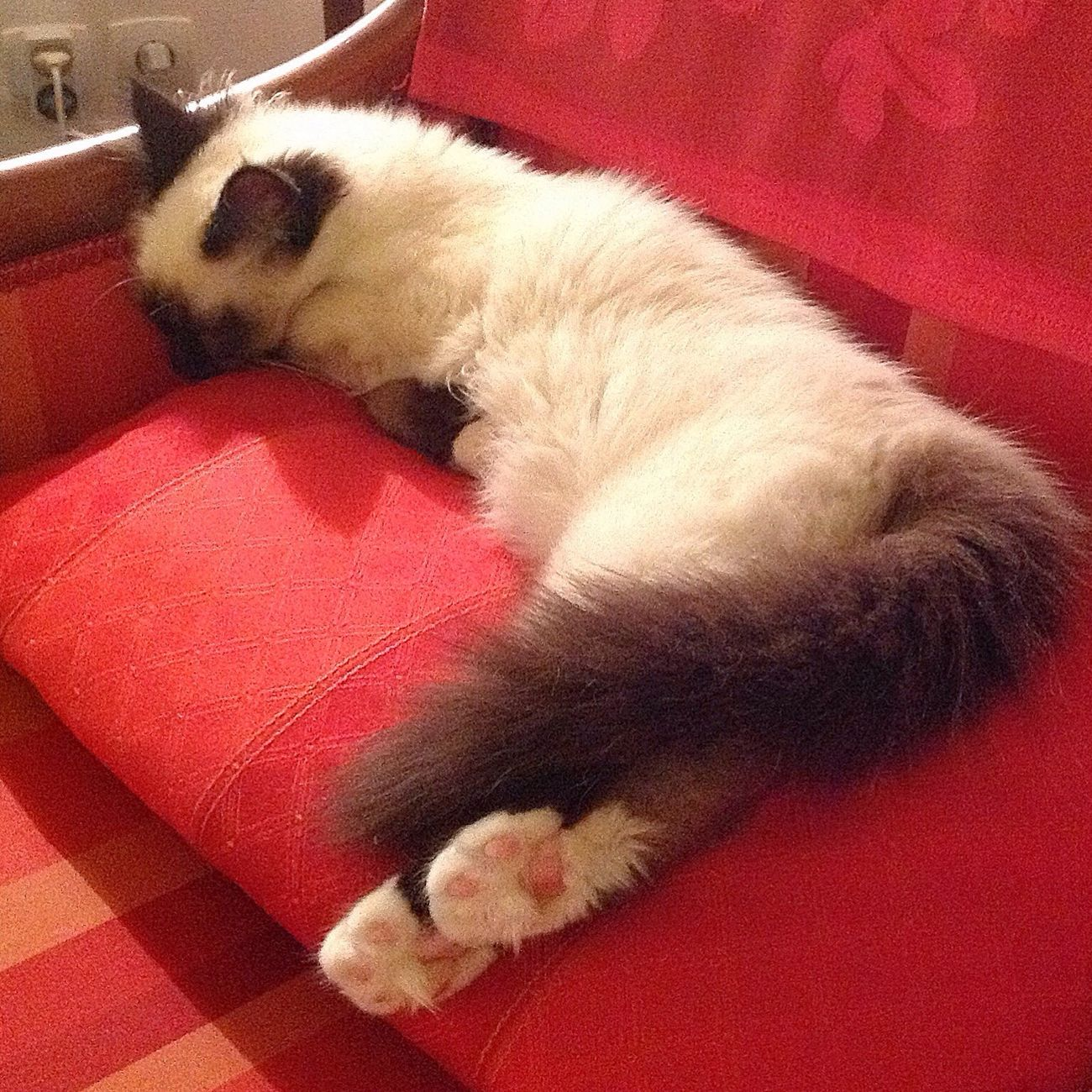 Time for a nap ? Cat Beautiful France Birman  Cat Lovers Sacredebirmanie