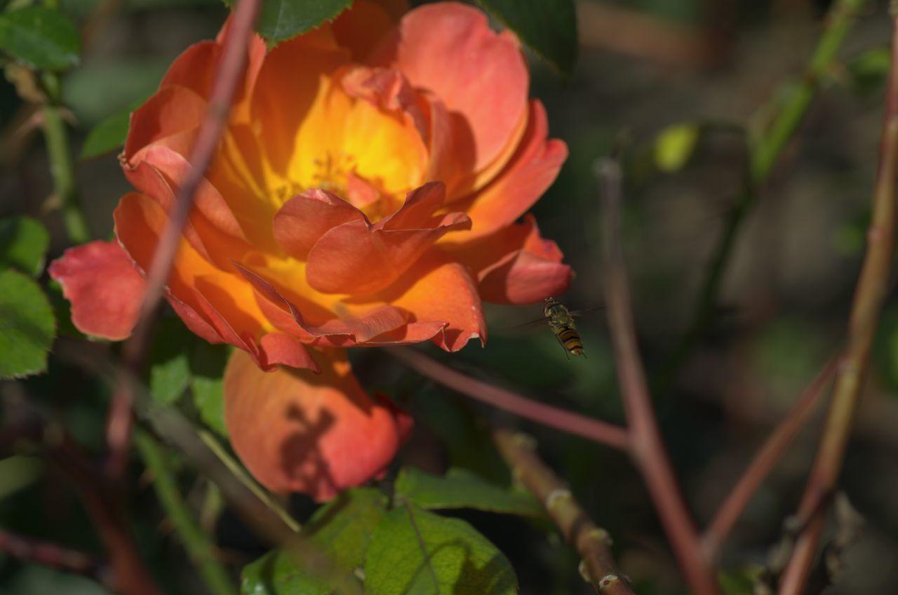 Macro Shot Of Honey Bee Hovering On Pink Rose