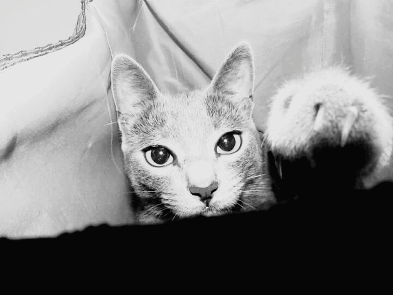 domestic cat, pets, looking at camera, domestic animals, animal themes, mammal, one animal, feline, portrait, cat, whisker, indoors, no people, close-up, day, kitten, siamese cat, nature