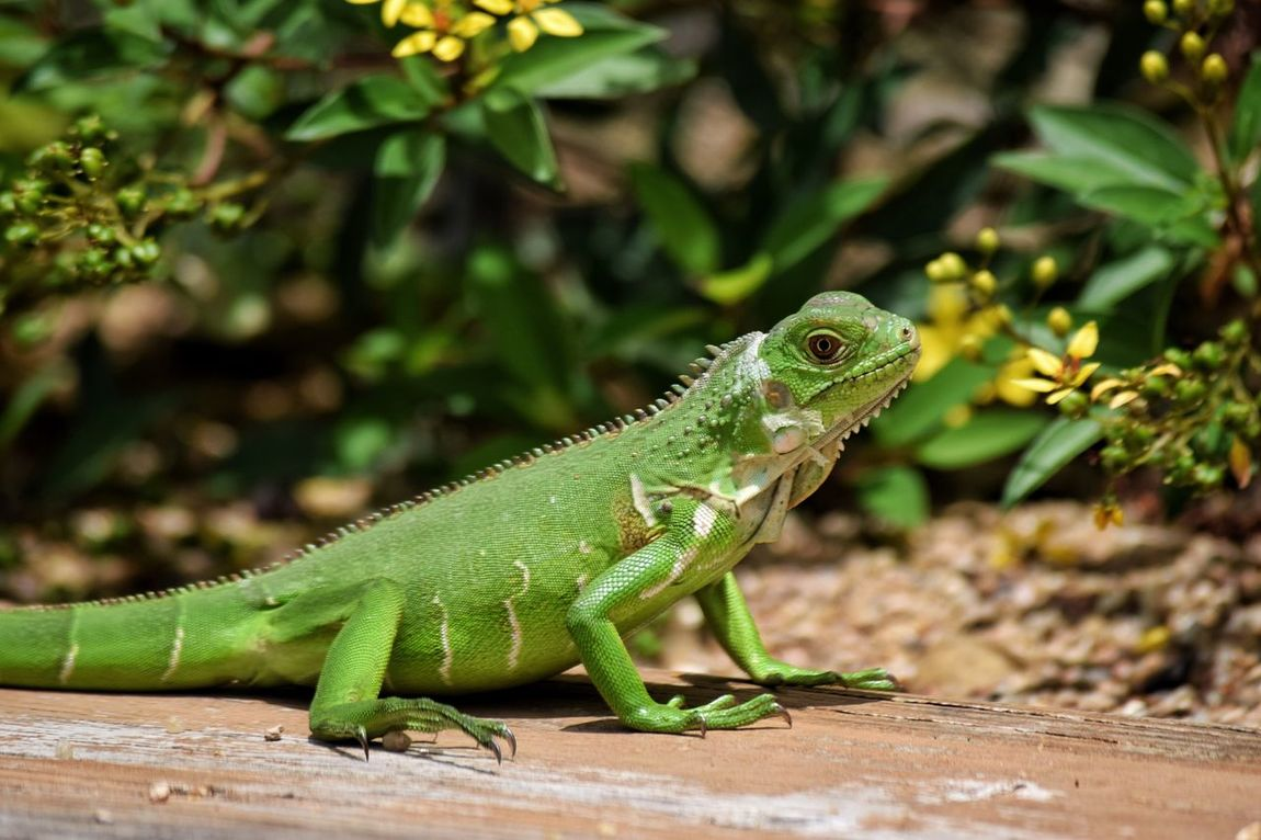 Animal Themes Close-up EyeEm Nature Lover Focus On Foreground Green Color Iguana Nature Reptile Scaley Wildlife Posing Beauty In Nature
