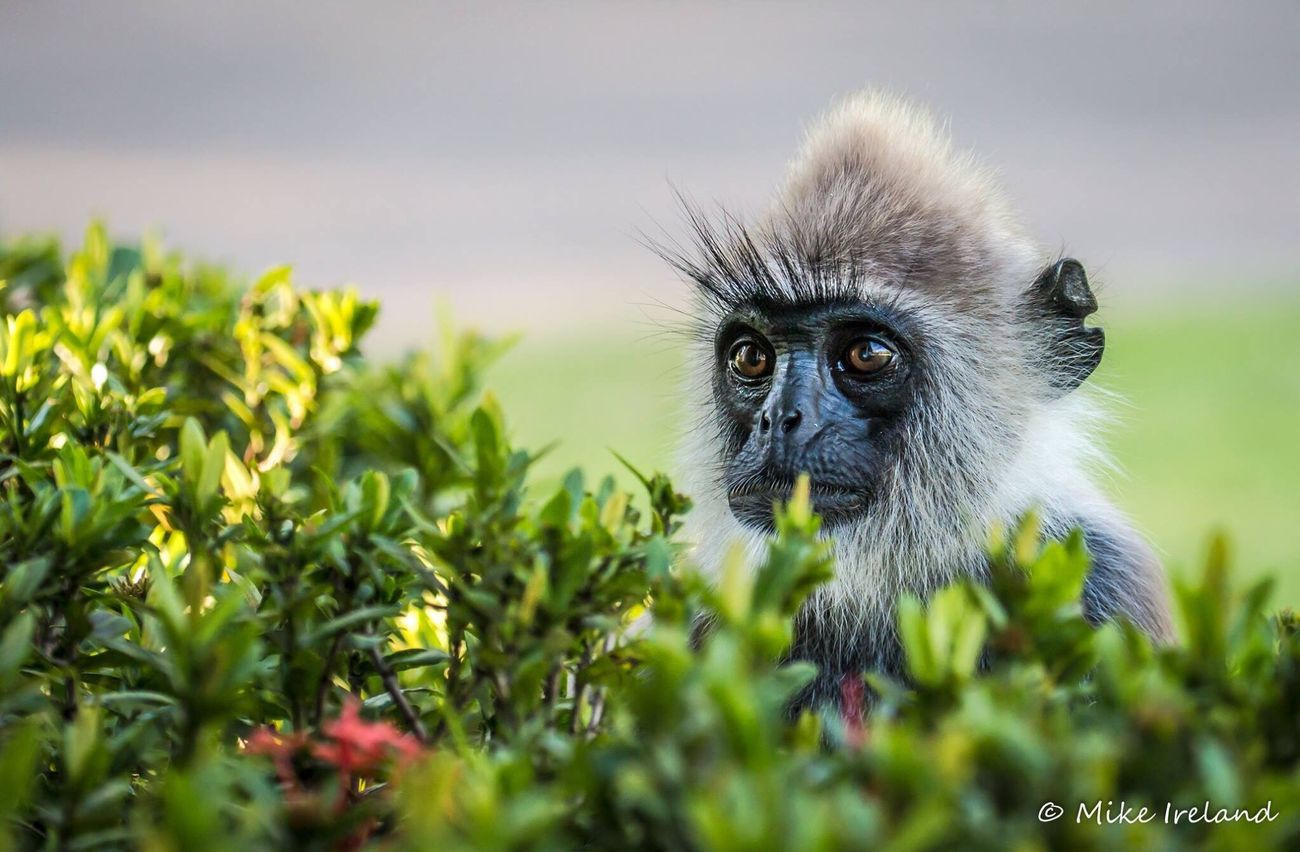 Grey face langur in Sri Lanka, amazing place to visit. Monkey Primate Animal Themes Portrait Animals In The Wild No People Close-up Day Mammal Outdoors monkey Langur langurs wildlife First Eyeem Photo EyeEmNewHere
