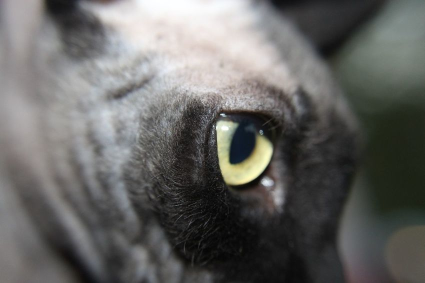 Cat eye close up Domestic Cat Pets One Animal Animal Body Part Feline Animal Themes Eye Animal Head  Black Color Close-up Whisker No People Yellow Eyes Mammal Spinx Cat Domestic Animals