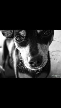 Manchester Terrier Toy Doglover Evie Sensitive Lookintomyeyes Beautyisintheeyeofthebeholder Sincere