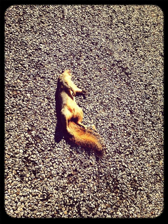 Another #Dead #Squirrel On My #Street . #Rest #Easy Lil Guy... :/
