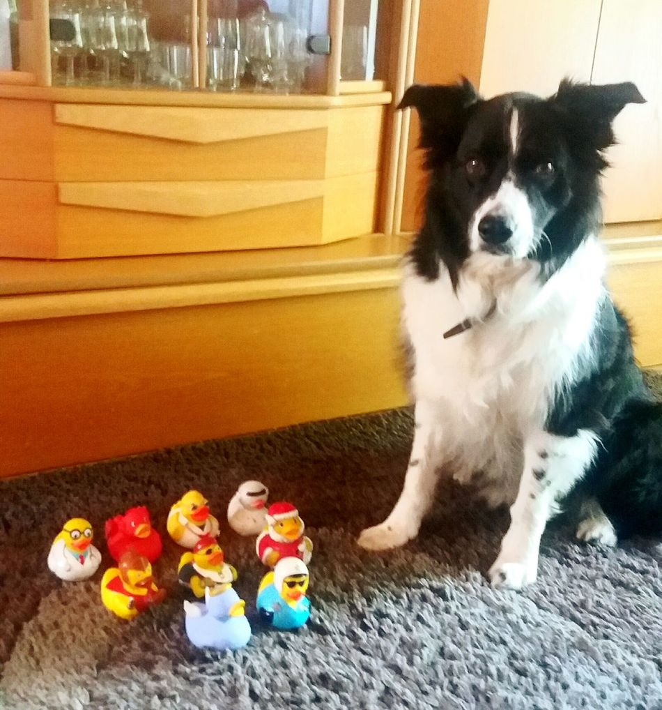 Pets Domestic Animals Dog Animal Themes Indoors  One Animal Mammal Loyalty Zoology Looking Pampered Pets At Home No People Bordercollie  Australienshepard Border Collie Pet Pet Photography  Photoshoot Photographer Playing Animal Photography Blackandwhite Photography Black&white