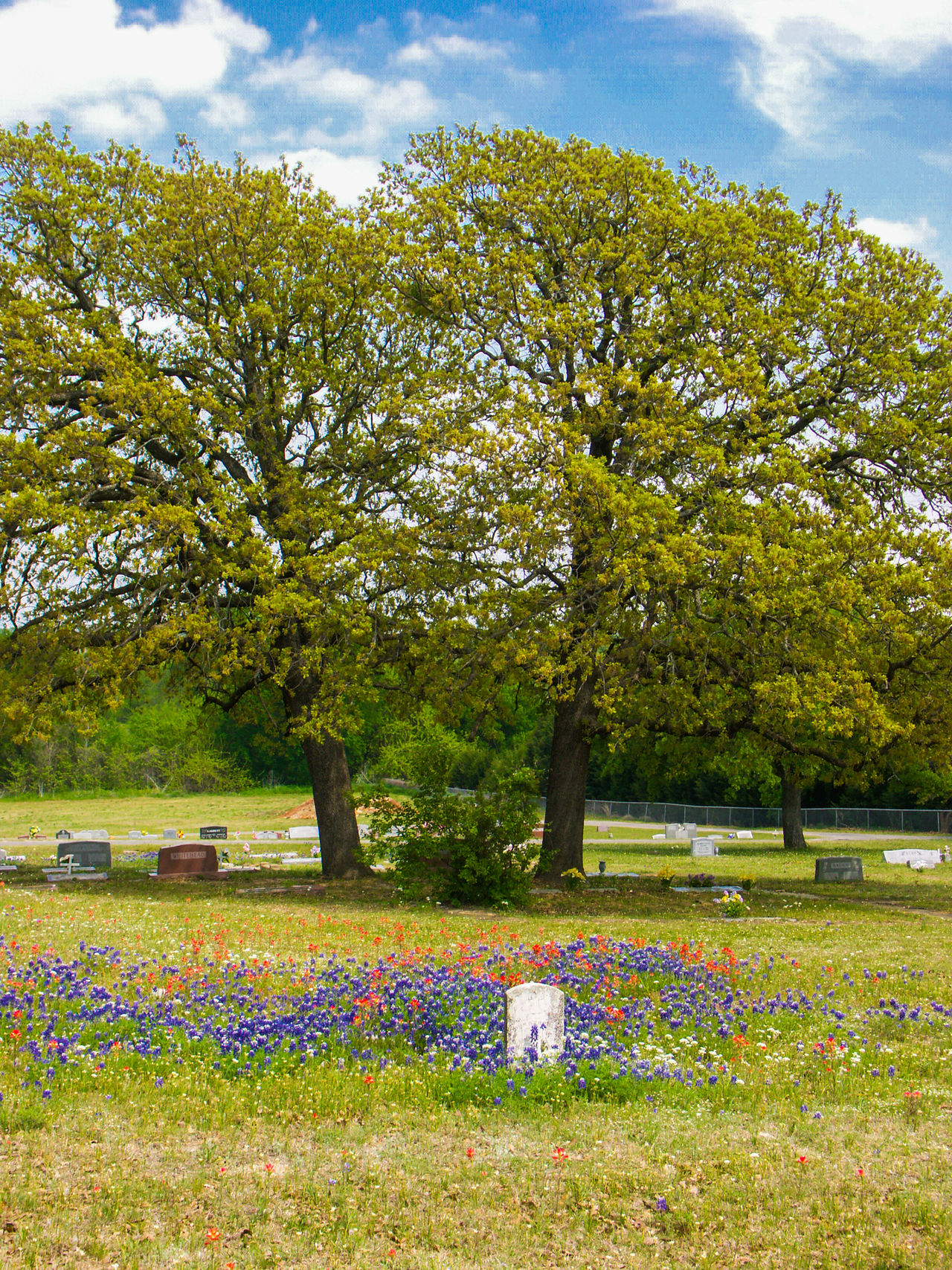 Texas graveyard in the spring with bluebonnets and indian paintbrush Cloud - Sky Day Grass Graveyard Graveyard Beauty Green Color Growth Headstone Nature No People Oak Oak Tree Outdoors Sky Spring Tranquility Travel Destinations Tree