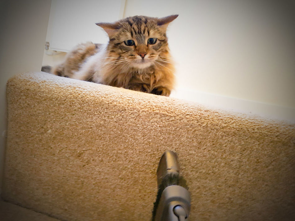 Cat afraid of the vacuum Hoover Dyson. Domestic Cat One Animal Indoors  Domestic Animals Pets Animal Themes EyeEmNewHere Samsung Galaxy S7 Edge Cats Of EyeEm Scaredcat FUNNY ANIMALS Afraidofnothing Worried Kitty Worried Look Scared Face Vacuum Cleaner Carpet Stairs Cleaning House Funny Pets Worried About Something Feline Encounters Wideeyed No People Wideeyes