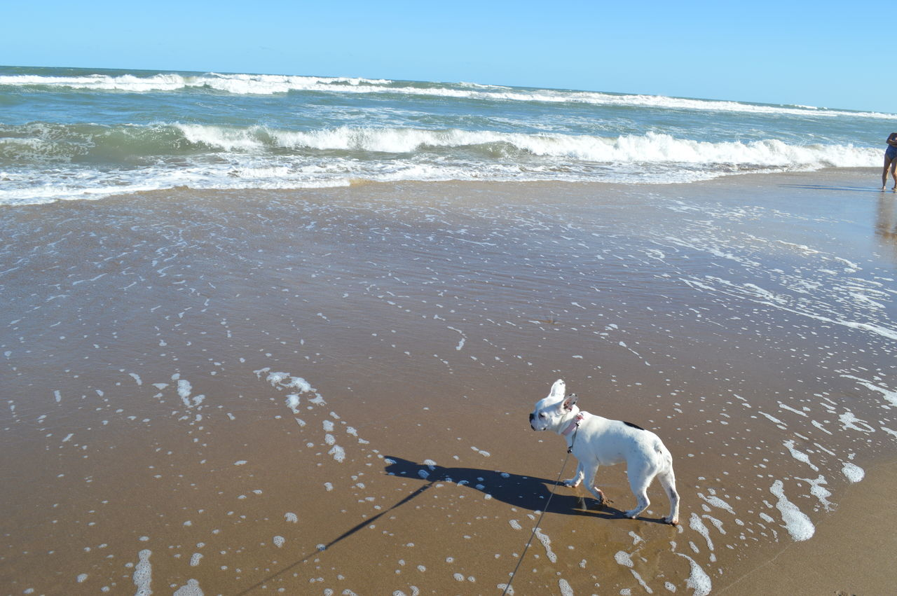 High Angle View Of French Bulldog On Wet Shore