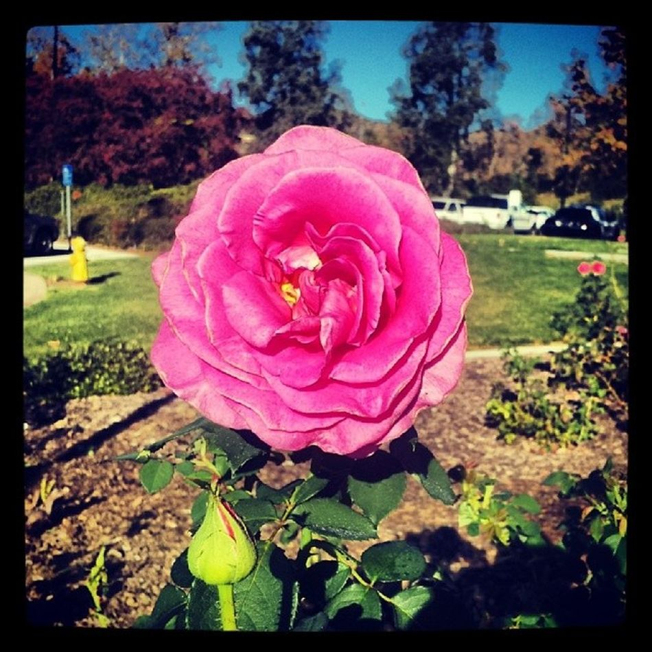 Pink rose it's gorgeous ♡ Pinkrose Rosé Flower Gorgeous Passion Pretty Colors Bright Photography Brightcolors Craftonhills