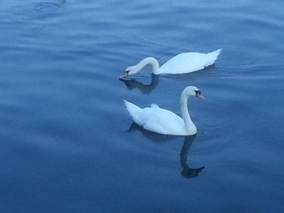 Swans in Sheepshead Bay Hello World Swans Sheepshead Bay Brooklyn Nyc