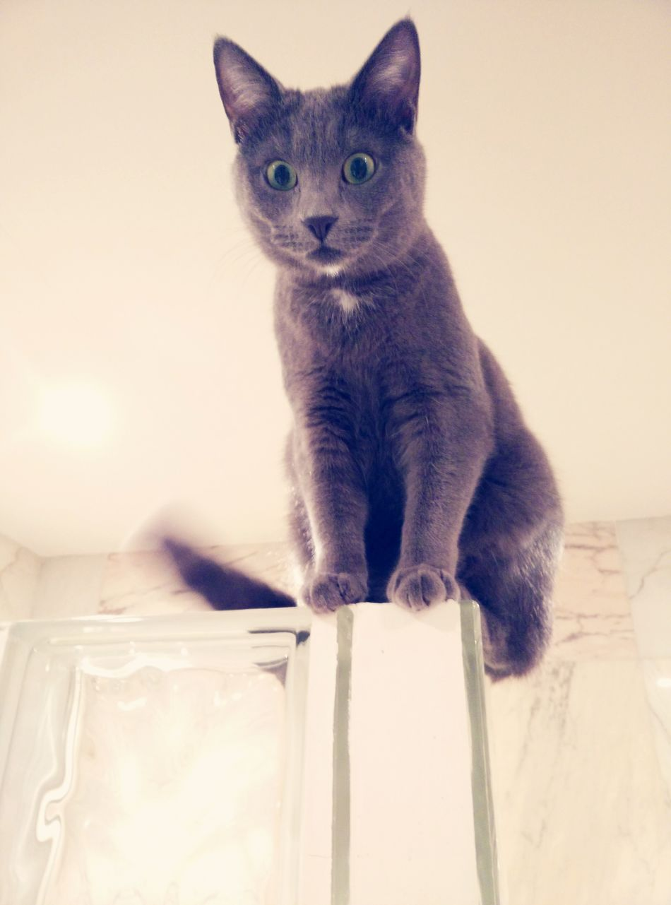 Russian Blue Azul Ruso Seeing Ghosts