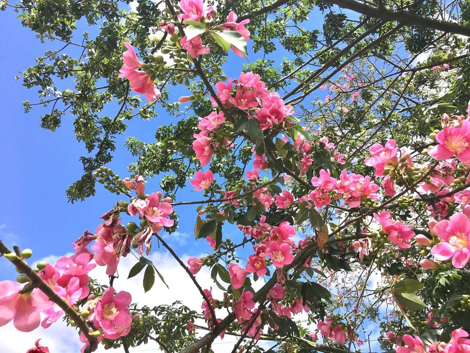 Flower Pink Color Growth Tree Beauty In Nature Fragility Branch Petal Blossom Nature Springtime Low Angle View Freshness Day Botany Magnolia Twig No People Blooming Outdoors Popular Photos First Eyeem Photo EyeEm Best Shots Best Photos Exceptional Photography