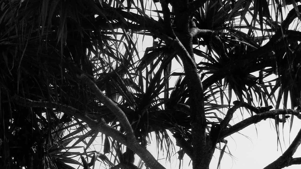 Tree Low Angle View No People Leaves Branch Single Tree Kauai Hawaii Close-up Blackandwhite Photography Low Angle View