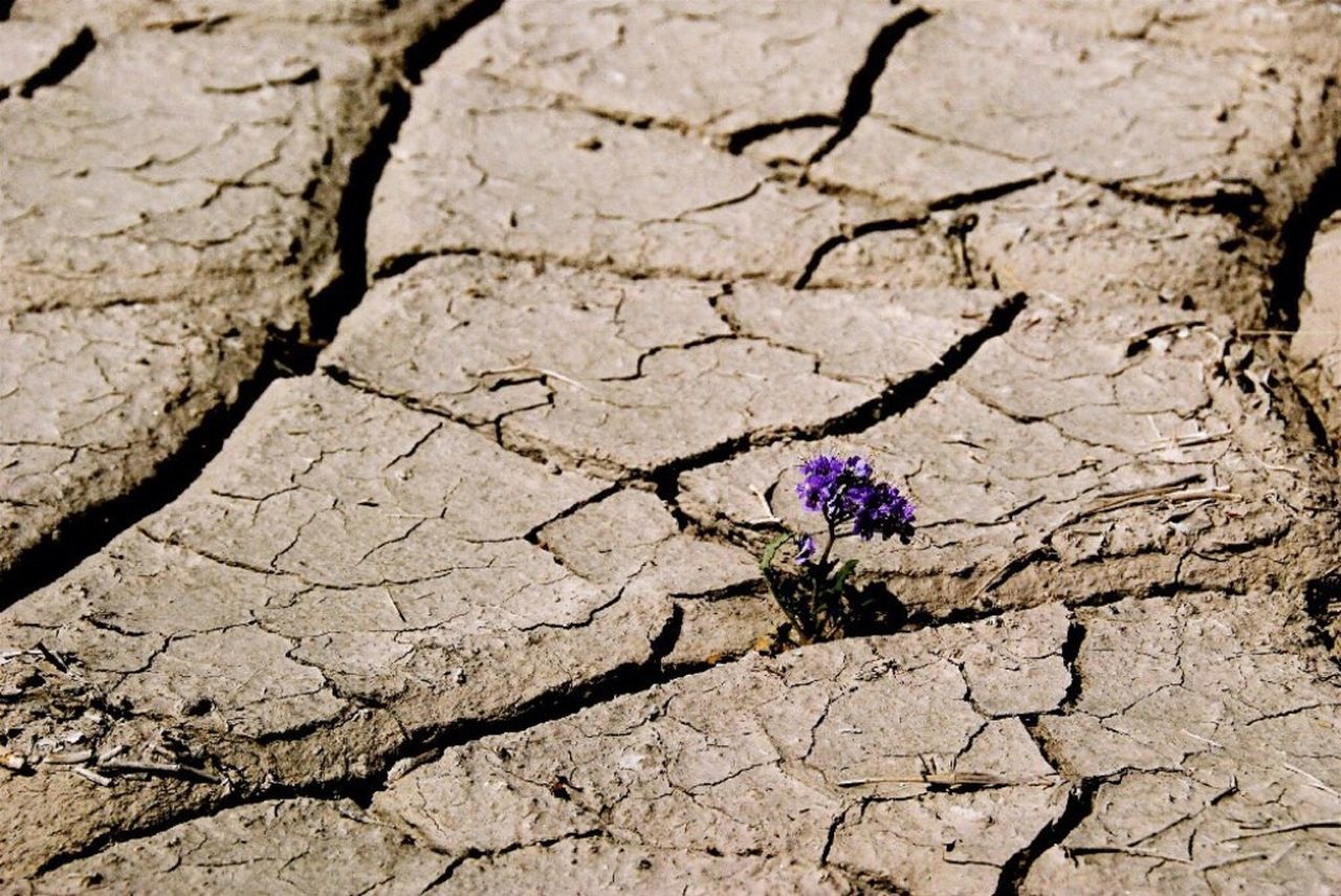 cracked, drought, arid climate, mud, day, high angle view, nature, outdoors, no people, flower, desert, landscape, close-up