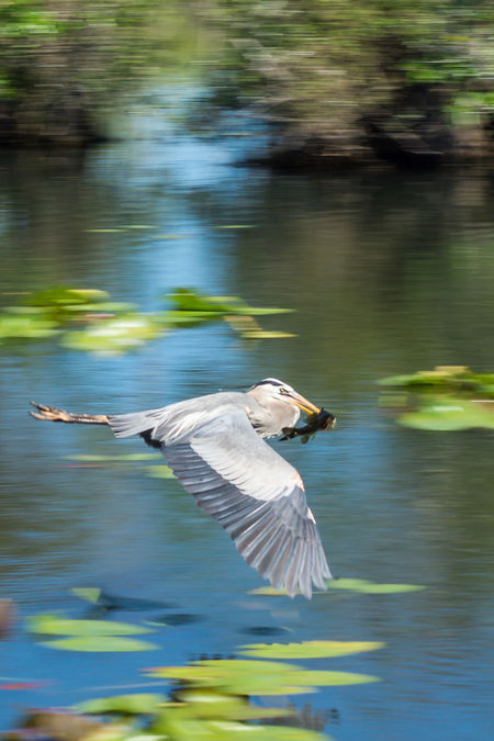 Beauty In Nature Bird Everglades  Everglades National Park Feather  Fish Fishing Florida FlyBy Flying Flying Bird Focus On Foreground Fresh Catch Heron Nature No People Outdoors Rippled Water Water Bird Wildlife Showcase July