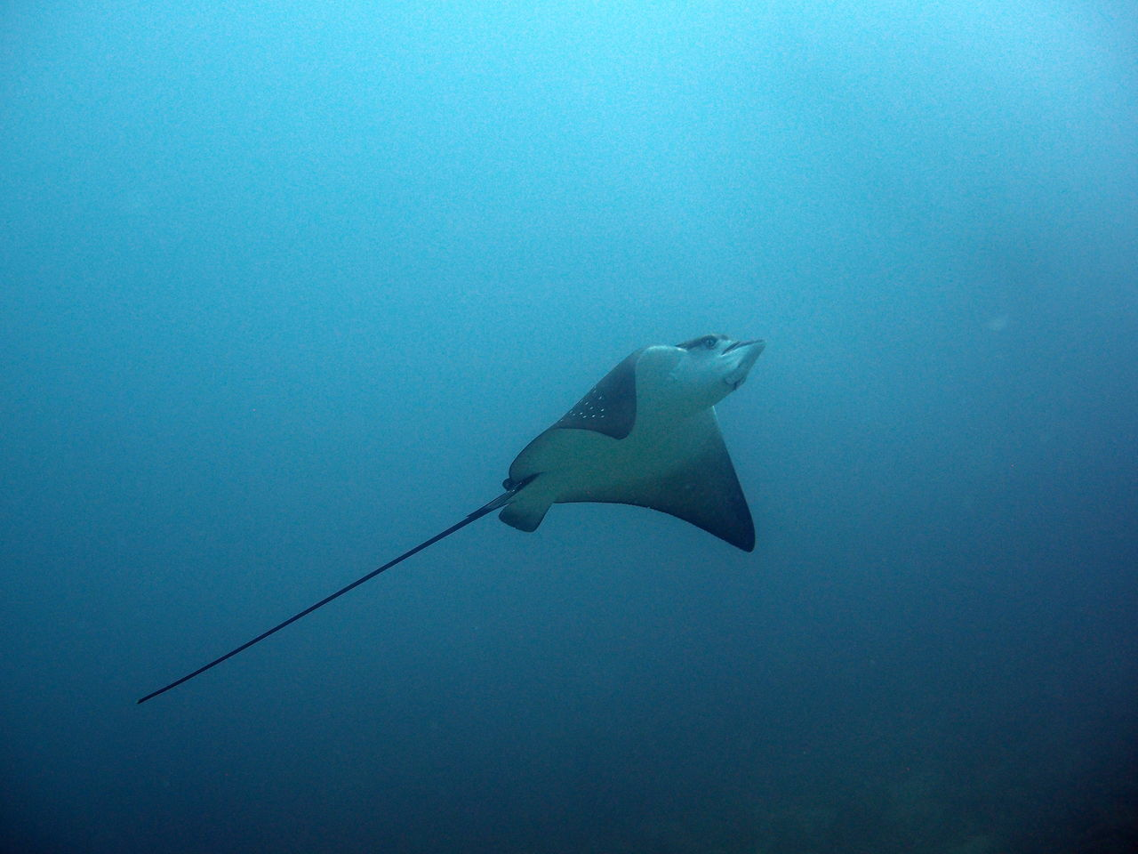 Swimming eagleray at the Galapagos Islands Animal Themes Animal Wildlife Animals In The Wild Eagleray Low Angle View Nature No People One Animal Outdoors Sea Sea Life Swimming UnderSea Underwater Water