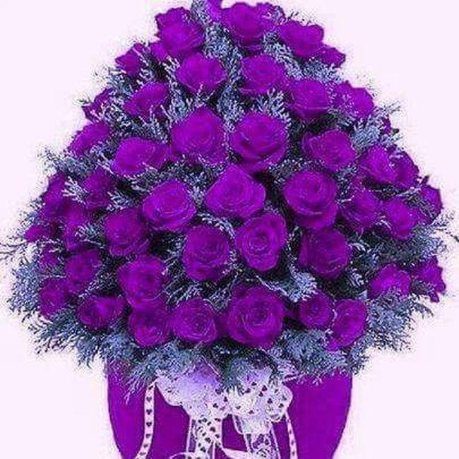 It is beautiful is good and beautiful colors.....🌹 Purple 🌹Rose Flower