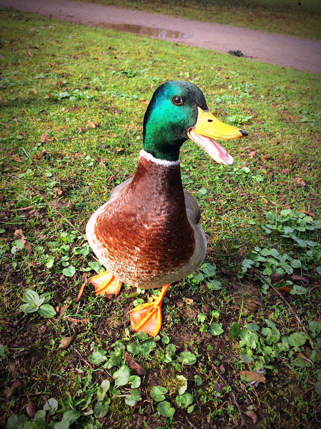 Bird Animal Themes One Animal Animals In The Wild Animal Wildlife No People Nature Outdoors Duck Maleduck Day Grass Close-up Openmouth EyeEmNewHere