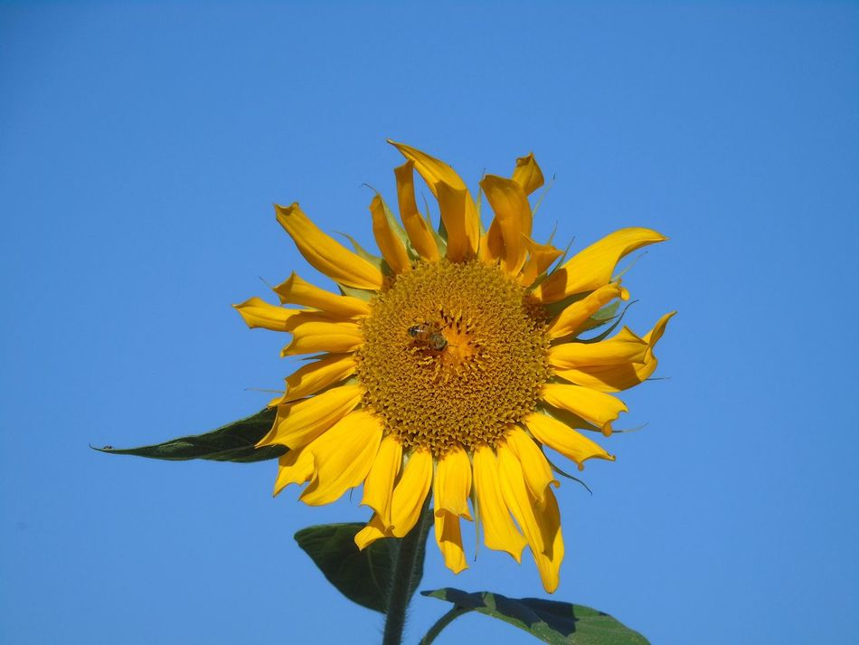 Beauty In Nature Blue Clear Sky Close-up Day Flower Flower Head Freshness Insect Sometimes Keep On Smiling My Point Of View Nature Petal Pollen Stamen Sunflowers Vibrant Color What Is Your Favorite? Yeah! Yellow Yellow Flower Yellow Like The Sun