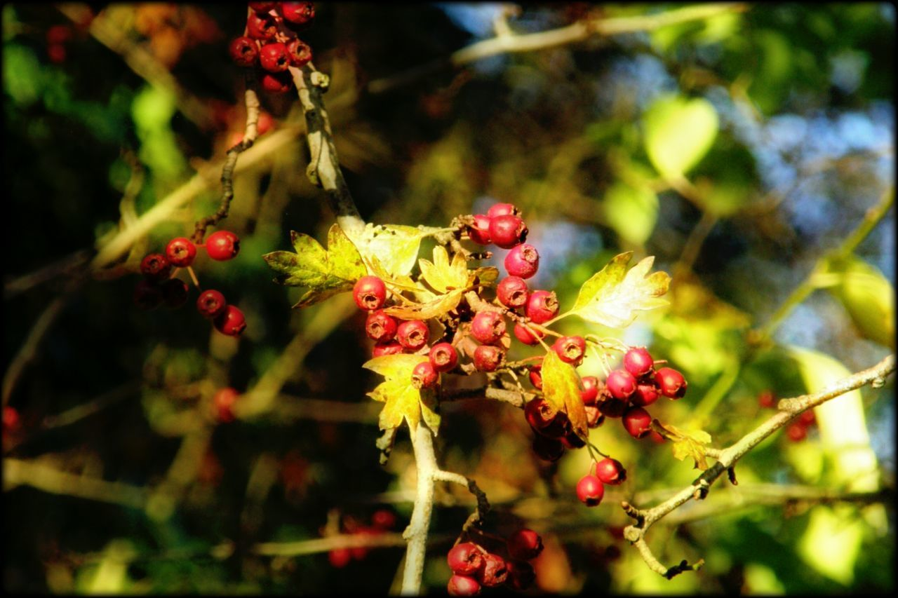 Tree Berrys Nature Outdoor Photography No People