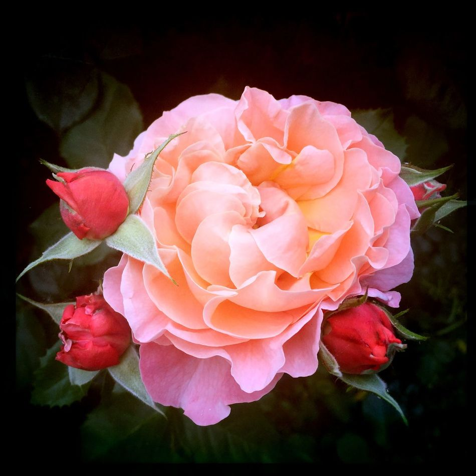 Rosé-orange roses, black background IPhoneography Nature NEM Submissions AMPt_Nature Flowers And Roses EyeEm Best Shots - Nature EyeEm Nature Lover Roses Marie Curie Black Orange Color Rosé