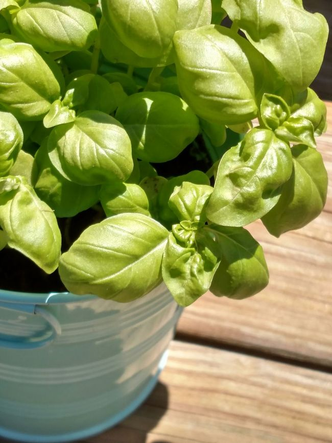 Basil Herb Basil Plant Home Grown Grow Your Own Organic Organic Food Herbaliscious Fresh Herbs  Scratch N Sniff Favorite Smells Sweet Smell Earthtones Great Colours Combination Great Colors Showcase June